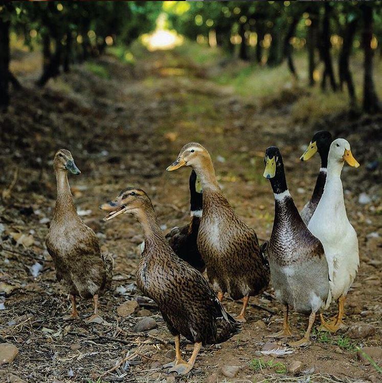 Running Duck vegaaninen viini