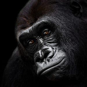 Katse Gorilla